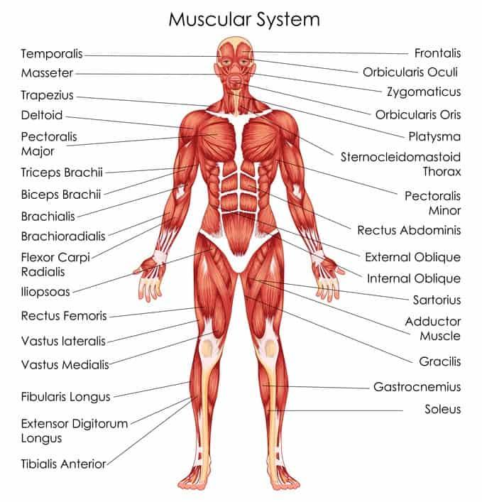 Muskulatur Muskeln aufbauen